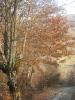 jesen_drvo